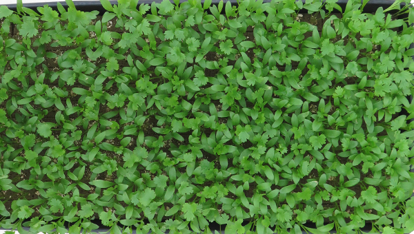 New Product Research – Horticubes® ES – Spinach, Cilantro, And Kale